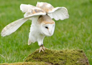 Barn_owl_darrelbirkett